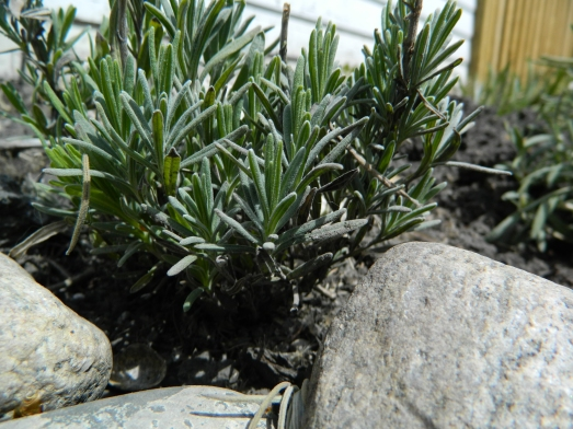 Rosemary that over-wintered--a total surprise for our climate!  I surround my rosemary with rocks for heat retention. (Not that this helped during the winter.)