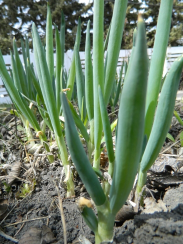 Perennial green onions. They produce green onions all summer long and can be harvested multiple times. They are also shade tolerant.